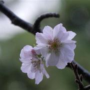 冬桜 狂い咲きかと思いきや、冬に咲く桜でした