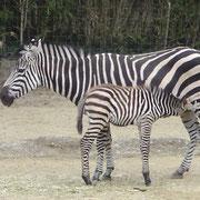 Zebra im Zolli Basel