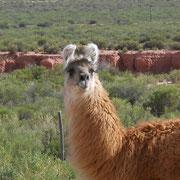 Nos amis les lamas