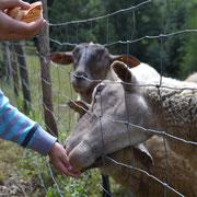 Gîtes de Thouy - les enfants et les moutons - Sidobre - Tarn