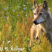 Wolf, Foto: NABU, S. Körner