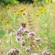 Wildblumenwiese mit Scheckenfalter, 2015, Foto: U. Postler