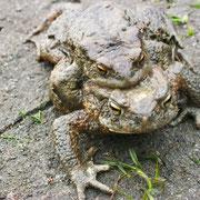 Erdkröten (Männchen o.), Fischpfuhl Buchholz, 4/2016