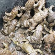 Erdkröten im Eimer, Fischpfuhl Buchholz, 4/2016