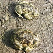 Knoblauchkröten, Fischpfuhl Buchholz, 4/2016