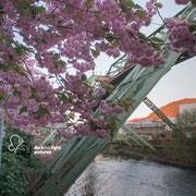 Kirschblüte in Wuppertal an der Schwebebahn