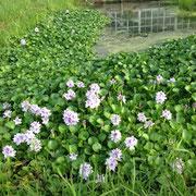 黒メダカゾーンに繁殖したホテイ草
