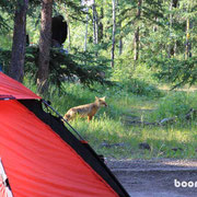 Fuchs im Lager