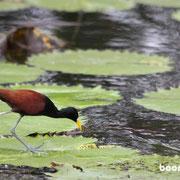 """der """"Jesus Christ""""-Vogel kann übers Wasser laufen"""
