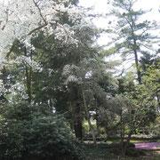 Blühender Baum im Botanischen Garten