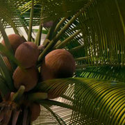 One of my palm trees in close-up. Simple but effective. Even though the coconuts are technically not the correct color :)