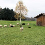 Schafe im Ibmer Moor