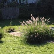 Lampenputzergras, pennisetum