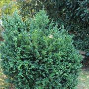 Buxus sempervirens Habitus