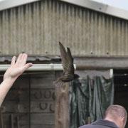 einer der Altvögel, die immer ausserhalb entlassen werden.