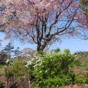 桜、ゆきやなぎ