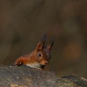 POLO ...Ecureuil roux © Erick LAUCHER