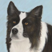Border Collie   Available