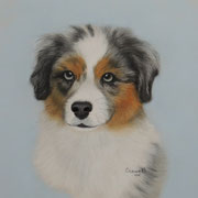 Australian Shepherd Puppy    Available