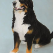 Bernese Mountain Dog     Available