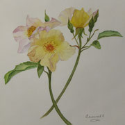 Wild Rose   -   Watercolor  -  Sold