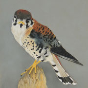 American Kestrel   -   Soft Pastel   -   Available