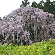 合戦場のしだれ桜:三春の滝桜の孫桜と言われている。