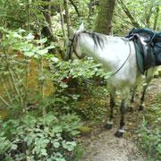l'animal reste un compagnon idéal pour découvrir la Montagne Noire, ses petits ruisseaux et ses sentiers sauvages...