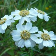 Sumpf-Schafgarbe - Achillea ptarmica