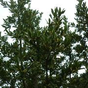 月桂樹つぼみがいっぱい