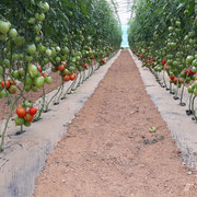 Production de tomates