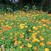 Calendula dans les champs @les_jardins_de_koantiz