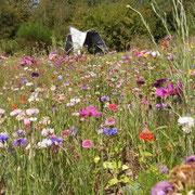 Jachère fleurie à La Pommeraie@les_jardins_de_koantiz