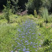quelques rangées de plantations@les_jardins_de_koantiz