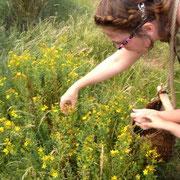 Valérie Stoll à la cueillette du millepertuis@les_jardins_de_koantiz
