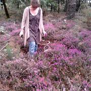 Cueillette sauvage de bruyère dans les landes bretonnes @les_jardins_de_koantiz