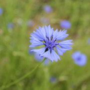 Plantation de bleuet@les_jardins_de_koantiz