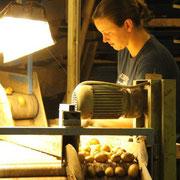 Handverlesung der Kartoffeln durch Petra Klink