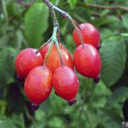R. glauca-Bacche