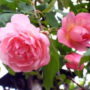 Desprez à Fleurs Jaunes-Ottobre