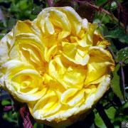 Solfatare (Tête d'Or)- Primi di Giugno