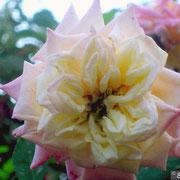 Blumenschmidt