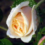 Bouquet d'Or-Bocciolo