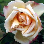 Rosa Supino-Aprile