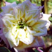 Blumenschmidt-Agosto