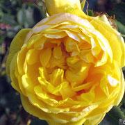 R. foetida 'persiana'