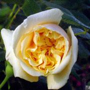 Bouquet d'Or