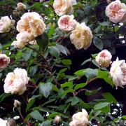 Desprez à Fleurs Jaunes