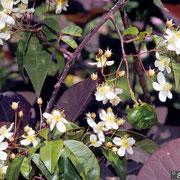 R. cymosa