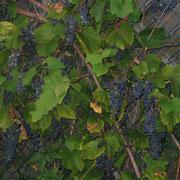 Die Trauben unserer netten Nachbarn verirren sich auch gern zu uns!